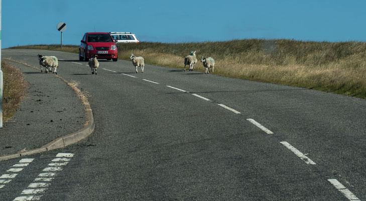 Bild: Schafe