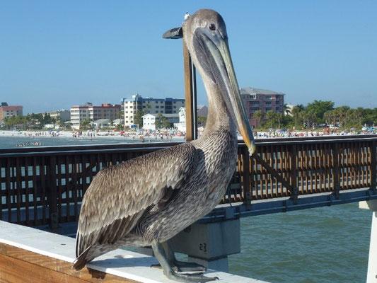 Bild: Pelikan auf der Pier
