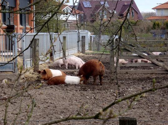 Bild: Wildschweine