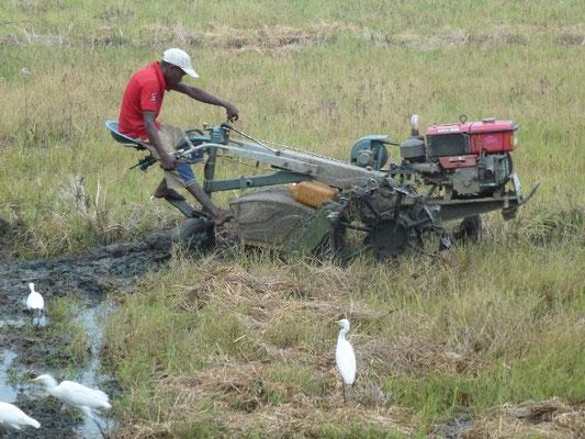 Ein Bauer in Sri Lanka pflügt den Acker