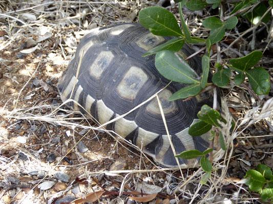 Bild: Schildkröte