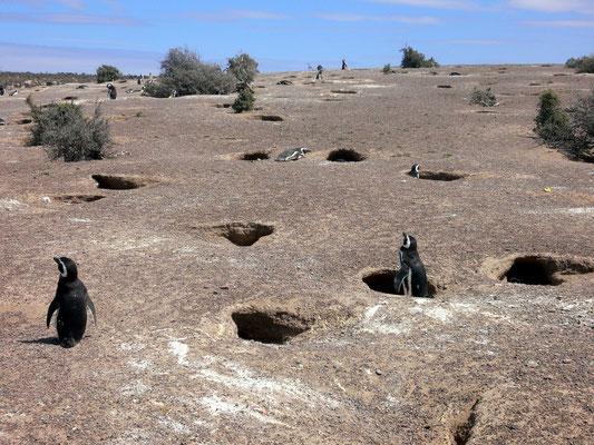 Bild: Pinguine schauen aus ihren Wohnungen