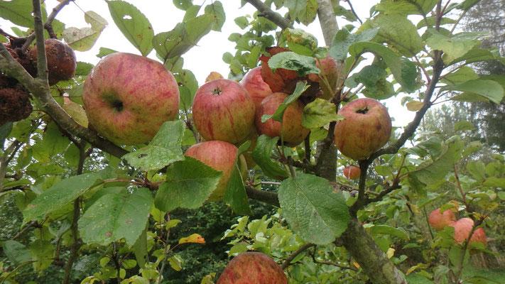 Apfelbaum am Straßenrand