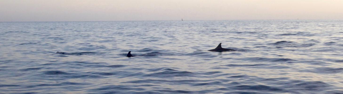 Bild: 2 Delphine in der Bucht von Lovina