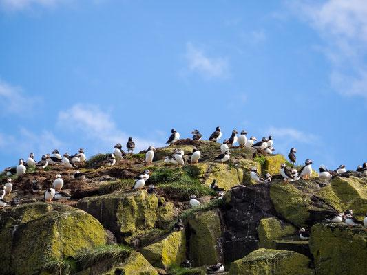 Bild: Papageitaucher auf der Insel Craigleith