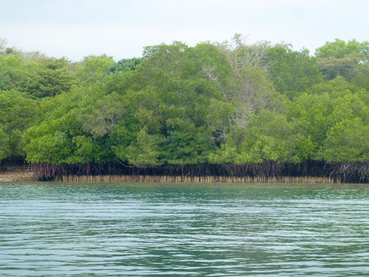 Bild: Mangrovenwälder