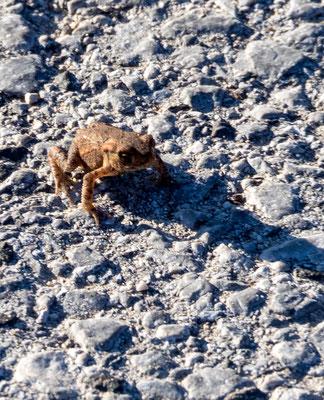 Frosch am Sickersee bei Cerknica in Slowenien