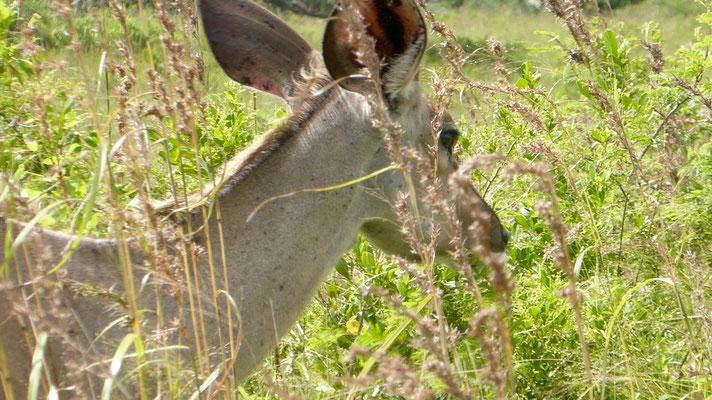 Bild: Antilopen im Wetland Park