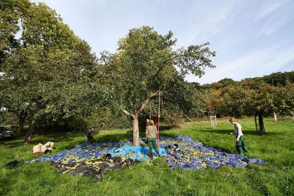 Obsternte in Oberdollendorf: die Äpfel werden auf Gewebeplanen heruntergeschüttelt und eingesammelt