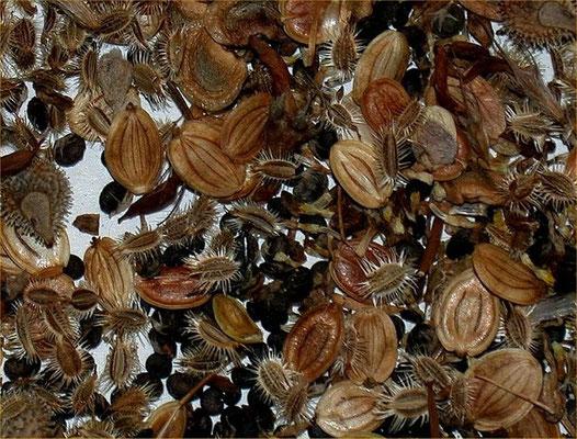 Samen von Wildkräutern sind unterschiedlich groß