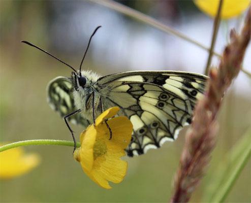 und Schmetterlingen (hier: Schachbrett-Falter, Bild: K. Weddeling)