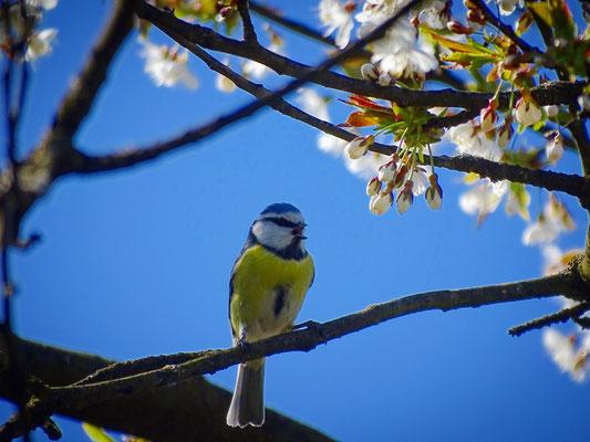 Blaumeise in unserem Kirschbaum