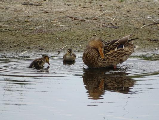 Entenfamilie an der Prims