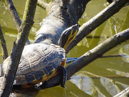Schildkröte auf Totholz