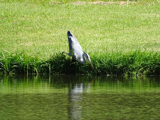 Fischreiher bei der Jagd