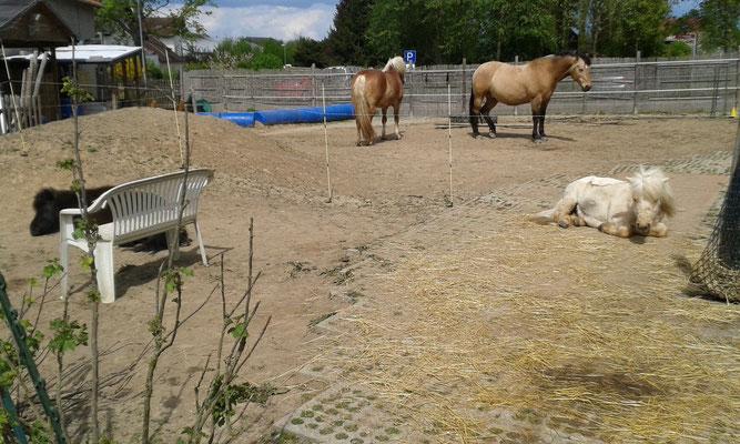 Verdauungsschläfchen nach dem Anweiden. Die Minis stehen separat, weil Donnie wg. des Hustens nasses Heu bekam.