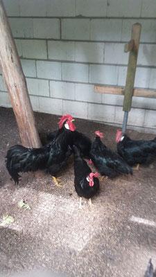 Diese Hühner hätten eigentlich verfüttert werden sollen.