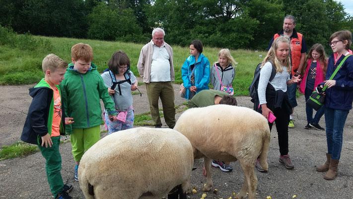 Die Schafe sind sehr zahm