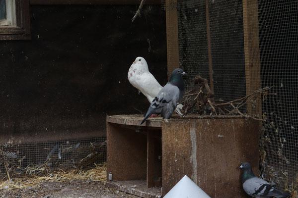 Bei der weißen Taube ist die Überzüchtung besonders gut zu erkennen.