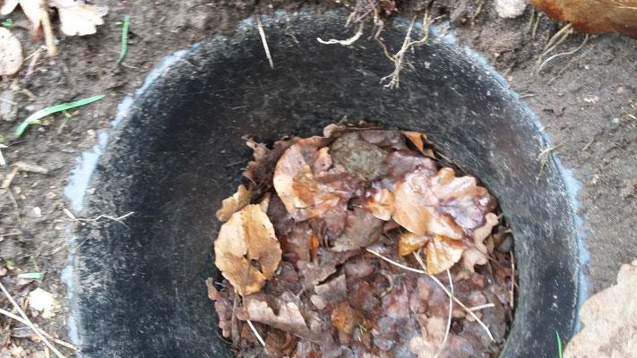 Bild 8 In Sarahs Eimer befindet sich ein Erdkrötenpärchen