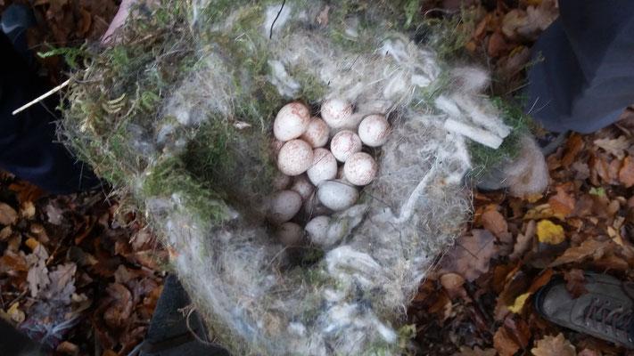 23 Eier wurden nicht fertig gebrütet. Evtl. ist der Vogelmutter etwas zugestoßen.