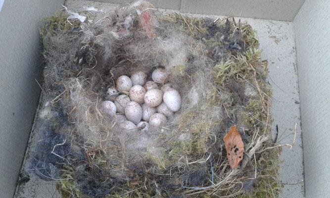 17 Eier lagen darin.