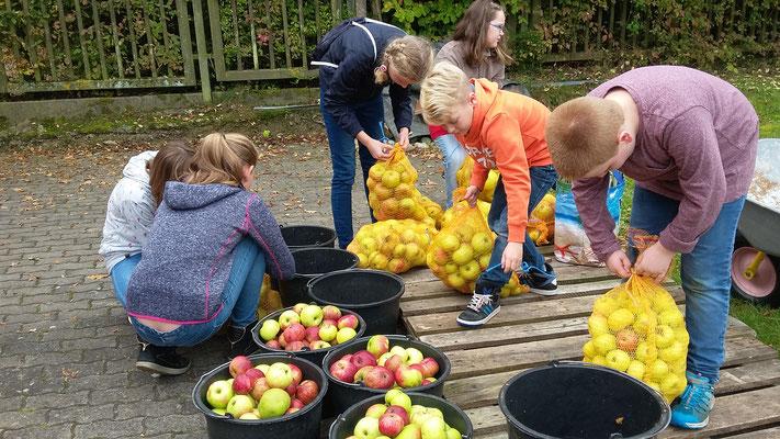 Die Kinder füllen die Äpfel aus den Säcken in die Eimer.