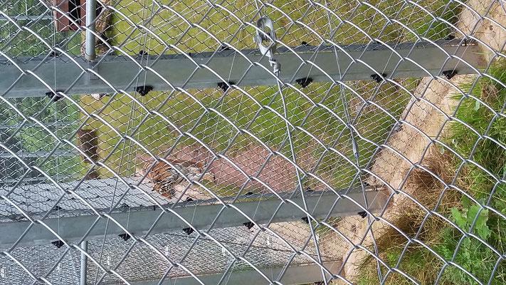 Cara läuft am Zaun entlang.