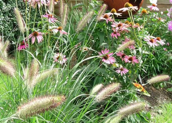 Pennisetum und Echinacea