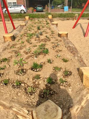 Die Pflanzen wurden vor dem Einsetzen getaucht bis sie nicht mehr aufschwimmen. Nach dem Pflanzen dann ausgibig gewässert, damit die Erde sich gut um die Wurzeln schließt.  Nun brauchen sie nie mehr gewässert werden, denn ihre Wurzeln werden sich viele Me