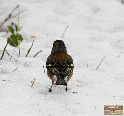 MenschundNatur, Singvögel, Buchfink
