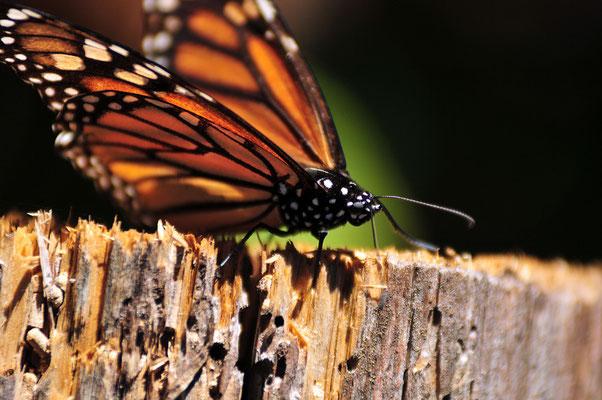 Reserva Mariposa Monarca,Sierra Chincua,Michoacan