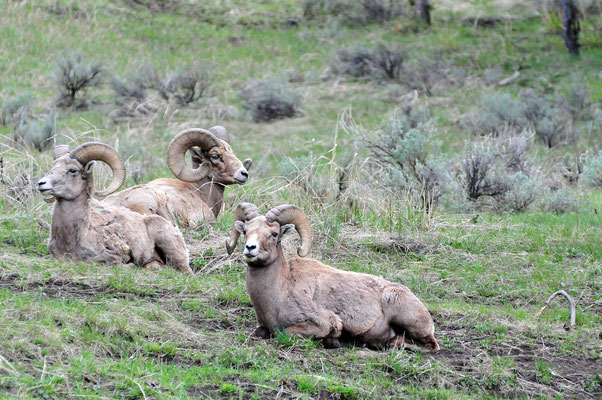 Bighorns/ Yellowstone National Park, Wyoming