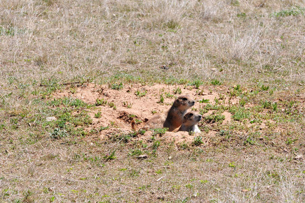 Prairie Dogs, Wyoming