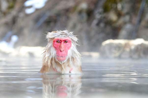 Jigokudani Snow Monkeys - Yudanaka
