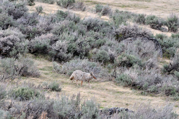 Coyote / Yellowstone National Park, Wyoming