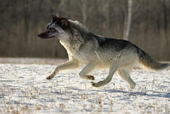 """""""Dog-Wolf"""" - AliciaB"""