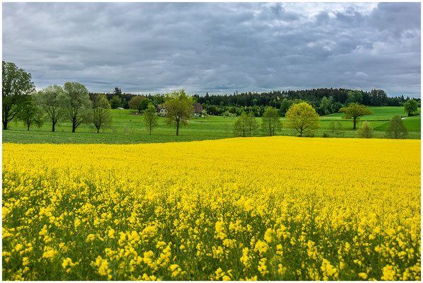 Rapsfeld im Berner-Mittelland - 02. Mai 2020