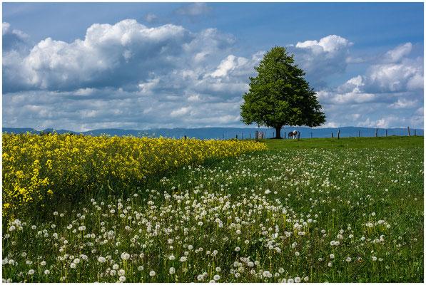 Rapsfeld im Berner-Seeland - 04. Mai 2020
