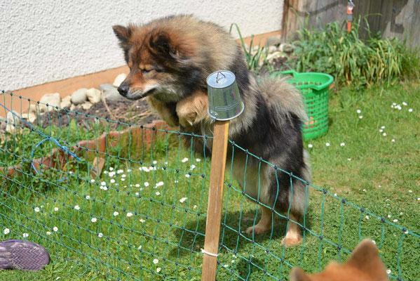 Uroma Bonny von der Mainschleife juggt auch noch locker über'n Zaun