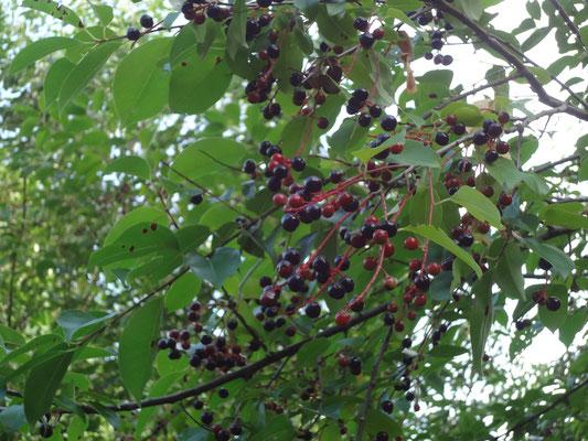 Späte Traubenkirschenfrüchte