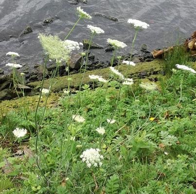 Wilde Möhre - Achtung Verwechslungsgefahr mit tödlich giftigen Pflanzen!