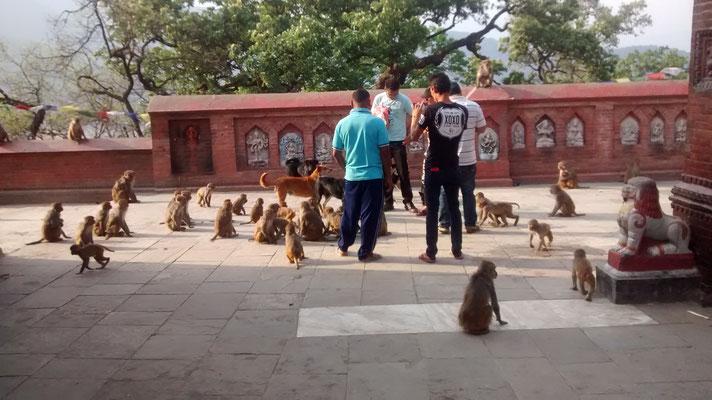 Swoyambhunath, Affen und Hunde einträchtig beim Betteln