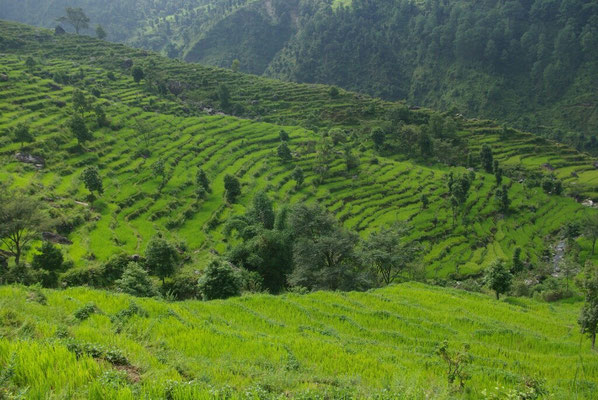 Reisfelder überall