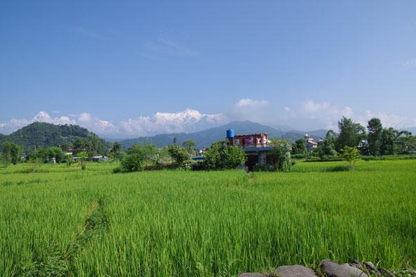 Reisfelder am Weg zum Begnas Lake