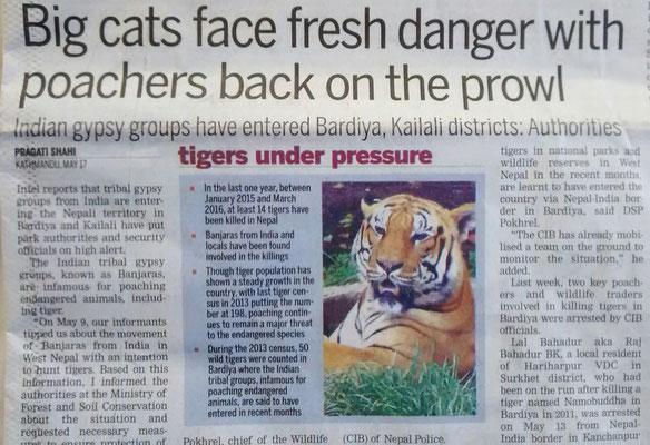 Tiger, gefährdet durch Wilderer