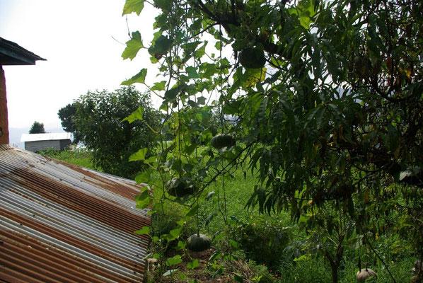 Kürbisse hängen vom Baum
