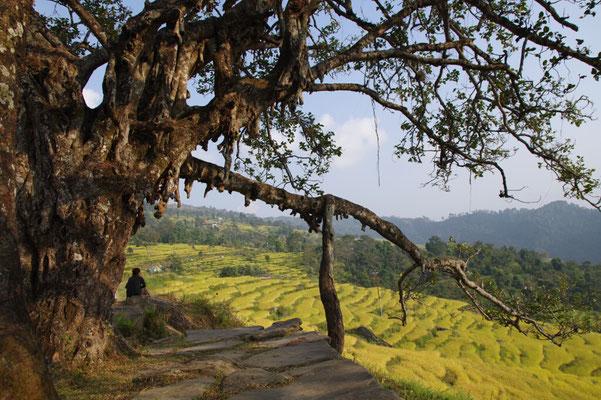 Mein Lieblings-Bodhitree