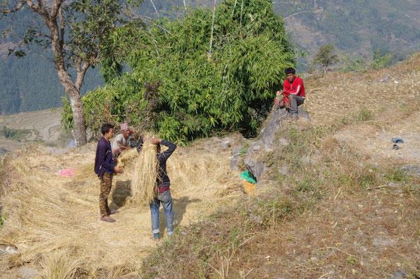 Der Reis wird an Ort und Stelle von Hand gedroschen