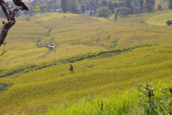 Die Reisfelder sind zur Ernte bereit